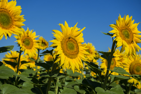 Bright yellow sunflowers against the blue sky