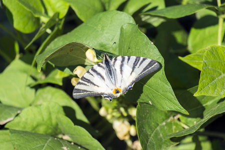 Butterfly sail swallowtail with damaged ends of wings sits on bean leaves (Iphiclides podalirius) Stock Photo