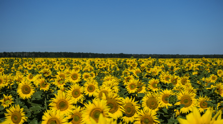 Field of sunflowers, skyline and blue sky