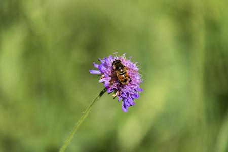 Drone fly sits on a purple flower (Eristalis tenax) 免版税图像