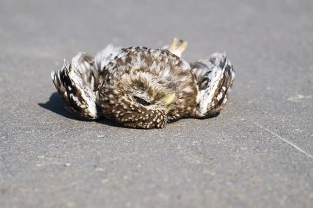 Dead little owl lies on the asphalt (Athene noctua) Stock fotó