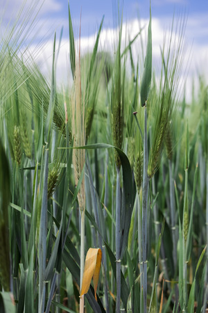 Green spikelets of barley in the field (Hordeum vulgare) Stock Photo