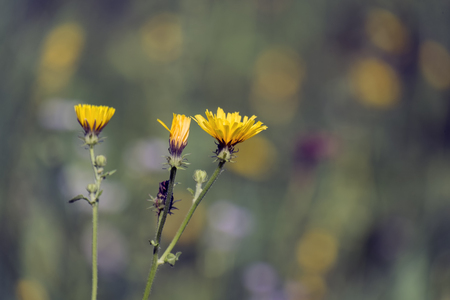 Yellow flame-like Flowers of smooth hawksbeard (Crepis capillaris) 写真素材