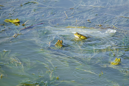 Bright green marsh frogs sits on algae in the upper layer of water (Pelophylax ridibundus)