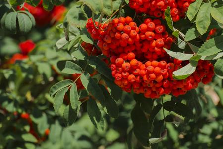Branch with ripe rowan berries (Sorbus aucuparia) Stock fotó