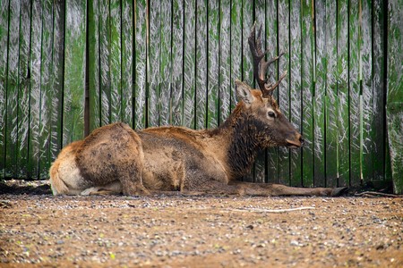 Red deer buck lying under the fence with a painful appearance (Cervus elaphus)