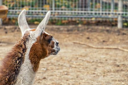 Llama looks into the distance. Llama head rear view (Lama glama)