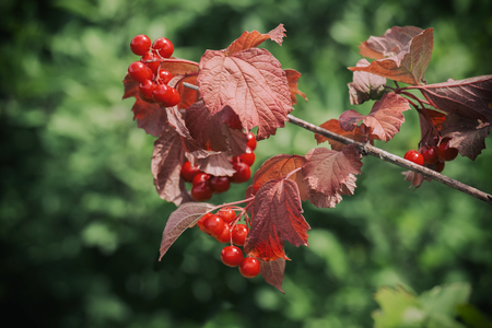 Ripe viburnum berries on a branch with red leaves