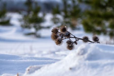 Dry burdock spines in winter 스톡 콘텐츠
