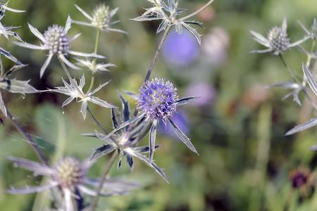 Blue eryngo - herbaceous perennial thistle (Eryngium planum) Reklamní fotografie