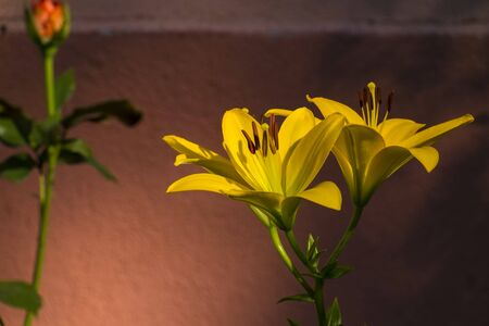 Asiatic Hybrid Lily  - Yellows lily (Lilium Nove Cento)