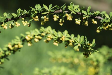 Young spring leaves and flowers of Japanese barberry (Berberis thunbergii)