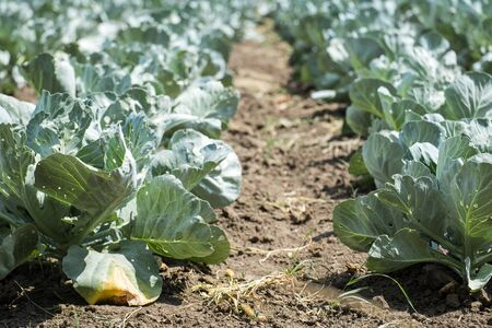 Ripening cabbage on an agricultural field
