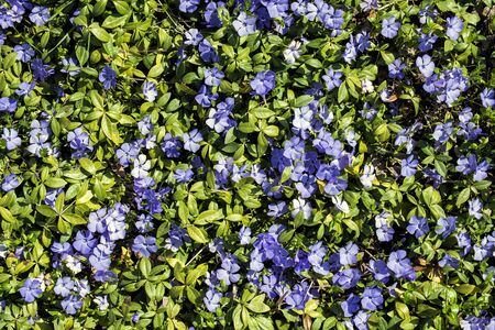 Live carpet of green leaves and blue flower periwinkle (Ficaria verna)