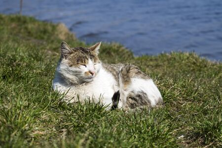 Stray cat with a conjunctivitis eyes basks in the sun lying on the green grass Banco de Imagens