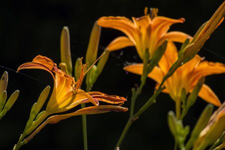 Vibrant orange Asian Lilies on black background (Lilium) Banco de Imagens