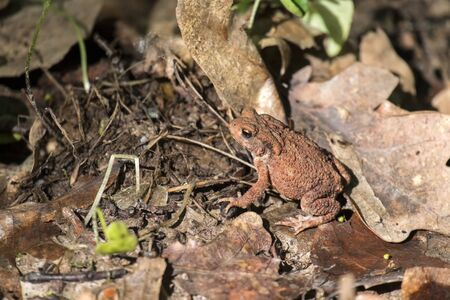 Little common toad is sitting on the dry fallen leaves of the oak (Bufo bufo)