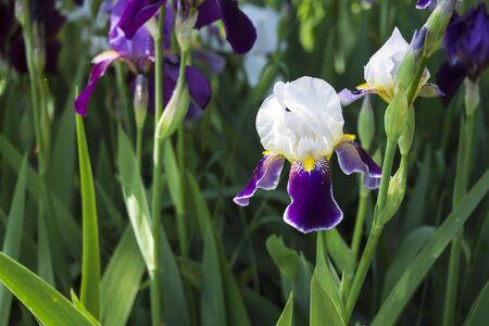 Tall Bearded Iris cultivar Mrs. Andris. White-purple Iris