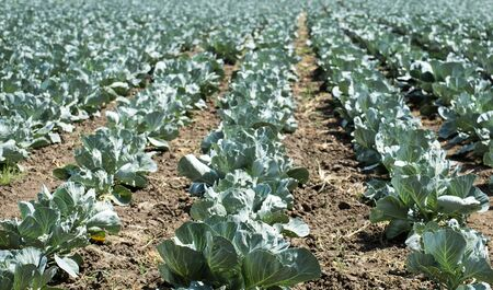 Cabbage beds on the field. Agriculture