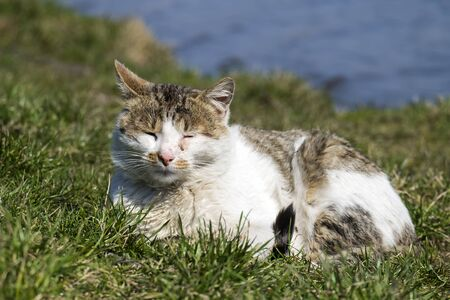 Stray cat with a conjunctivitis eyes basks in the sun lying on the green grass Stockfoto