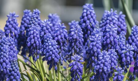 Common grape hyacinth (Muscari neglectum)