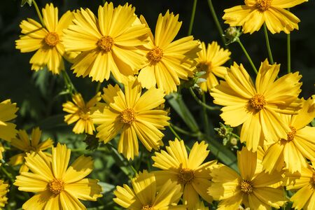 Bright yellow flowers of Lance-leaved coreopsis (Coreopsis lanceolata)