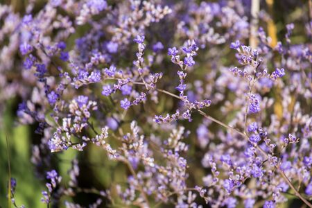 Purple flowers of statice (Limonium gmelinii)