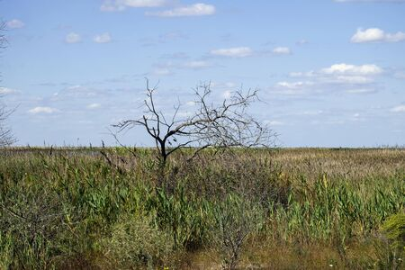 Dry tree against blue sky. Wetlands in the area Maliy Sasik Lake Banque d'images