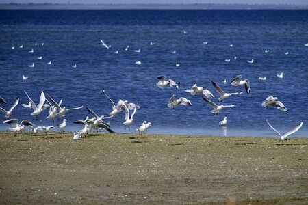 Seagulls take off from the shore of the Shahany Lagoon (Tuzlovski Lagoons National Park) 版權商用圖片