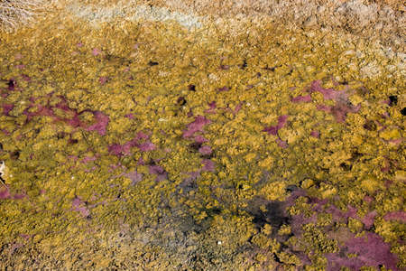 Lilac and yellow algae densely covered lake surface