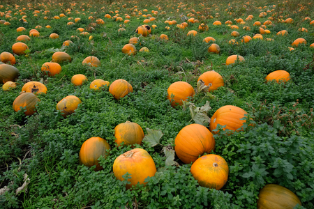 Hundreds of pumpkins, big and small, ready to pick by pumpkin carvers getting ready for halloween celebrations.
