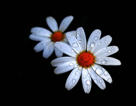 Daisy with water drops photo