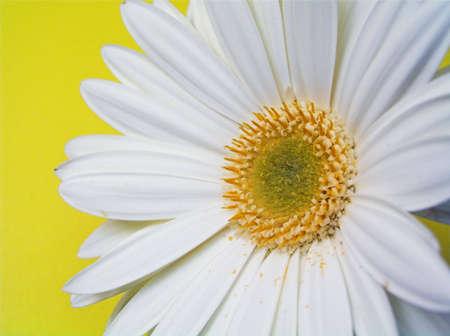 daisys: White Gerbera