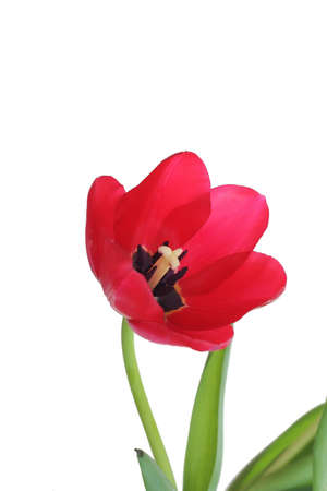 springy: Isolated red tulip