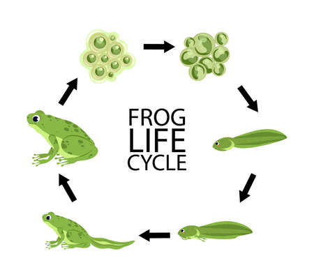 Life cycle of a frog. Cute cartoon wild animal. Frog life cycle stages set with adult animal fertilized eggs jelly mass tadpole froglet Vettoriali
