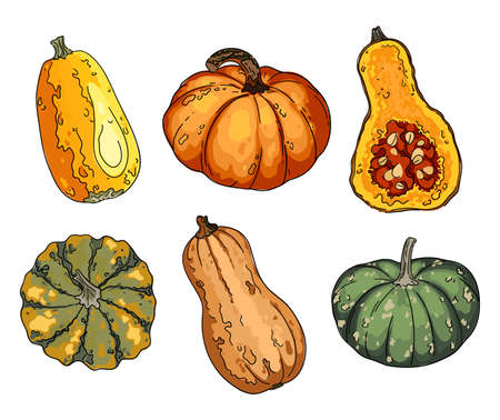 Colorful pumpkin set. Sketch of food. Acorn Squash, Vector drawing of vegetables and herbs.