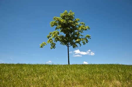 Single small maple tree on a knoll against a clear blue sky  Stock Photo