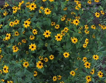 Black-eyed Susan flowers growing in garden