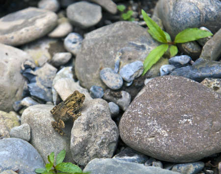 Young toad on rocks and pebbles