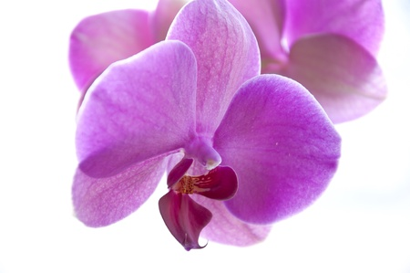 Purple Phalaenopsis Orchid Flower isolated on white background Stock Photo