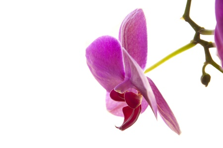Side view of Purple Phalaenopsis Orchid Flower and bud hanging from a stem isolated on white background