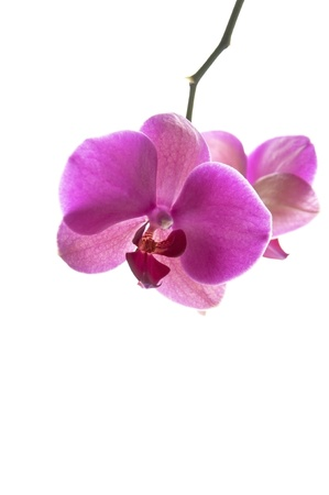 Purple Phalaenopsis Orchid Flower hanging from a stem isolated on white background