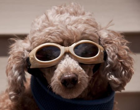 Tan colored poodle dog wearing goggles on a sunny day Stock Photo