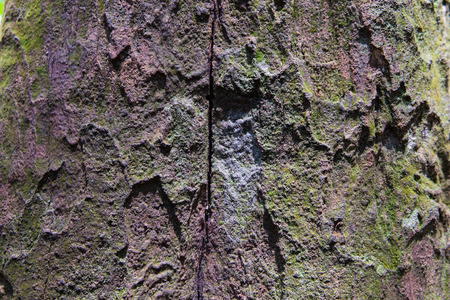 bark rain tree: Tropical Forest Trees Texture