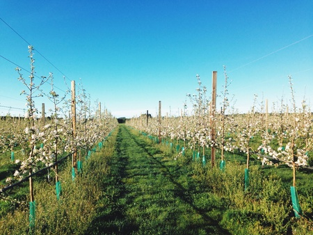 apple orchard: Apple orchard agriculture work Stock Photo