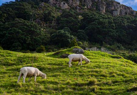 Sheep at grassland mountain and trees