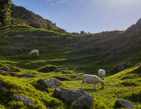 Sheep at grassland mountain and trees Stock fotó