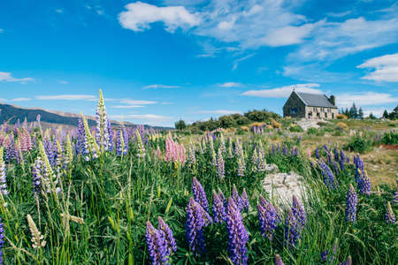 Lupin Flowers in Lake Tekapo with clear blue sky