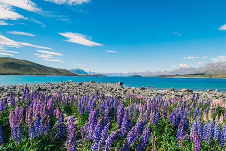 Lupin Flowers in Lake Tekapo with clear blue sky Banque d'images