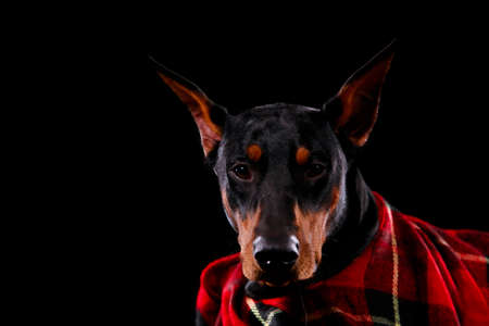 Doberman pinscher with a serious muzzle poses in front of the camera on a black studio background. Isolated portrait of a dog close up rolled in a red checkered plaid. Autumn poster with animals. Banque d'images